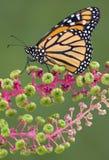 Monarch auf Poke Weed Lizenzfreies Stockbild