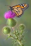 Monarch auf Stierdistel stockbilder