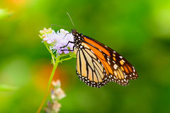Monarch Autumn - Monarch gathering Nectar  from  lavendar flower Royalty Free Stock Images