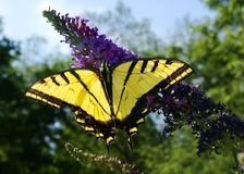 Monarch B 7-07. Close-up of Monarch Butterfly on a purple flower glows in the sunlight Stock Photography