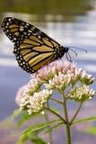 Monarch-Basisrecheneinheit auf Joe Pye Weed Stockfotos
