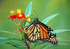 Monarch-Basisrecheneinheit auf tropischem Milkweed lizenzfreie stockbilder