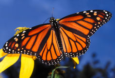 Monarch-Basisrecheneinheit (Danaus plexippus) Stockfotos