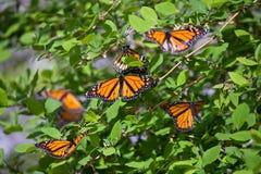 Monarch-Basisrecheneinheiten lizenzfreie stockfotografie
