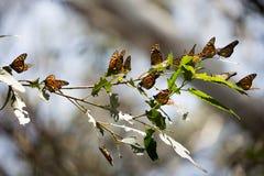 Monarch-Basisrecheneinheiten (Danaus plexippus) stockbilder