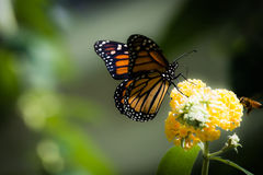 Monarch and the bee. A beautiful and detailed bright orange Monarch butterfly enjoying a Butterfly tree with a bee flying into focus against a green background Royalty Free Stock Images
