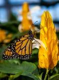 Monarch beleuchtet Stockbild