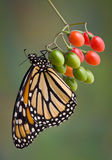 Monarch on berries. A monarch butterfly is holding on to a bunch of wild berries Royalty Free Stock Photo