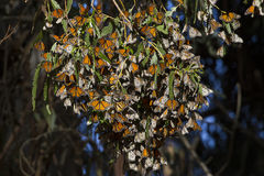 The Monarch Branch. This is a cluster of Monarch butterflies wintering on a branch of a tree royalty free stock photo