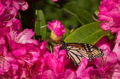 Monarch Buterfly Royalty Free Stock Images