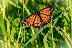 Monarch buttefrly. Monarch butterfly on a plant in the lake park stock images