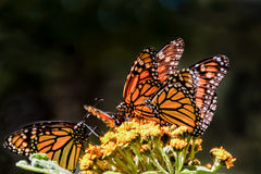 Monarch butterfies on a milkweed flower. Monarch butterflies feeding on a milkweed flower during their Winter migration in the butterfly sanctuary in Mexico Stock Photo