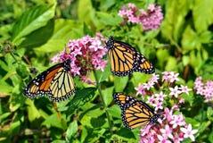 Monarch butterfles Latin name Danaus plexippus Stock Photo