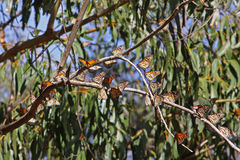 Monarch Butterflies. In a eucalyptus tree branch Stock Images