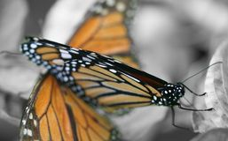 Monarch butterflies. Macro view of two Monarch butterflies with black and white background Royalty Free Stock Photos