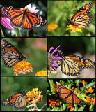 Monarch Butterflies. Beautiful Colorful Monarch Butterfly Collage Stock Photos