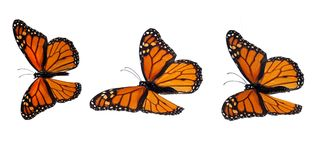 Monarch butterflies. Three uppersides in natural positions Royalty Free Stock Images