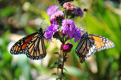 Monarch Butterflies Royalty Free Stock Photo