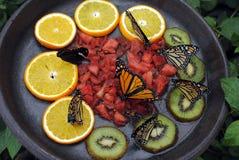 Monarch butterflies. Latin name Danaus plexippus feeding on fruit Stock Photography