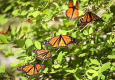 Monarch Butterflies. Congregation of Monarch Butterflies on a bush stock photos