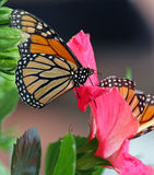 Monarch Butterflies. Two Monarch Butterflies on a flower Royalty Free Stock Image