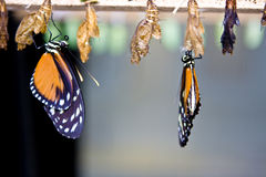 Monarch butterflies Stock Photo
