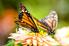 Monarch butterflies. Danaus plexippus, on flower Royalty Free Stock Image