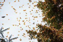 Monarch butterflies arriving at Michoacan. Monarch butterflies arriving at a forest in Michoacan, Mexico, after migrating from Canada royalty free stock image