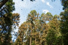 Monarch butterflies in Michoacan. Monarch butterflies arriving at Michoacan, Mexico, after migrating from Canada stock photo