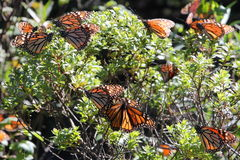 Monarch Butterflies. The monarch butterfly (Danaus plexippus). Taken in the the Rosario sanctuary of the Mariposa Monarca Biosphere Reserve in Mexico. The Royalty Free Stock Photos