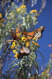 Monarch Butterflies Stock Photography