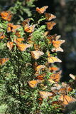 Monarch Butterflies. The monarch butterfly (Danaus plexippus). Taken in the the Rosario sanctuary of the Mariposa Monarca Biosphere Reserve in Mexico. The stock photography