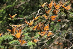 Monarch Butterflies. The monarch butterfly (Danaus plexippus). Taken in the the Rosario sanctuary of the Mariposa Monarca Biosphere Reserve in Mexico. The Stock Photo
