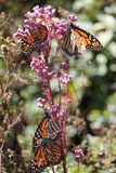 Monarch Butterflies Royalty Free Stock Photos