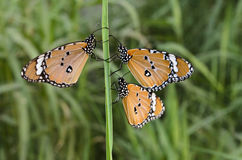 Monarch Butterflies Stock Photos