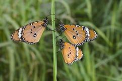 Monarch Butterflies stock photos