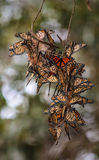 Monarch butterflies cluster Royalty Free Stock Images