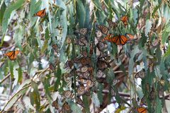 Monarch Butterflies clustered in a Eucalyptus tree royalty free stock images