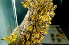 Monarch Butterflies. Colorful Monarch Butterflies on Display royalty free stock photography