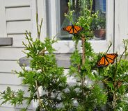 Monarch Butterflies on Conifer in front of house. stock images