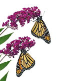 Monarch Butterflies (Danaus plexippus) royalty free illustration