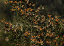 Monarch butterflies. Danaus plexippus gathering at the Pismo Beach Monarch Butterfly Grove during the winter migration Royalty Free Stock Images