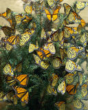 Monarch Butterflies Diorama. A nature diorama with an artistic display of mature monarch butterflies royalty free stock photos