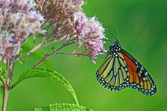 Monarch butterflies on the flower. Is collecting nectar Royalty Free Stock Photo