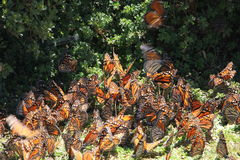 Monarch Butterflies fly. The monarch butterfly (Danaus plexippus). Taken in the the Rosario sanctuary of the Mariposa Monarca Biosphere Reserve in Mexico. The Royalty Free Stock Image