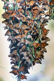 Monarch Butterflies forming a cluster to stay warm during migration. Royalty Free Stock Image