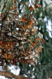 Monarch Butterflies Gather In Wildlife Area Stock Photos