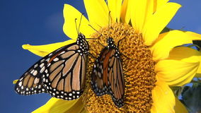 Monarch butterflies gathering nectar from flower. Top view of Monarch butterflies gathering nectar from flower stock video