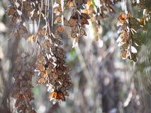 Monarch Butterflies Sleeping Stock Photo