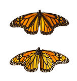 Monarch Butterflies, Isolated. Monarch Butterflies - front side and back side Royalty Free Stock Image